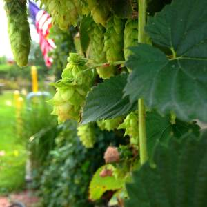Fresh hops dangle over the Millstream beer garden. At the Millstream Brewing Co. in Amana, IA.